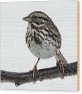 Song Sparrow Profile Wood Print