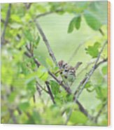 Song Sparrow With Dinner Wood Print