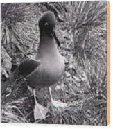 Sooty Albatross On A South Georgia Cliffside Wood Print