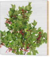 Sour Red Berries Bush Isolated Wood Print