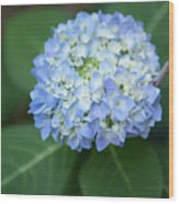 Southern Blue Hydrangea Blooming Wood Print