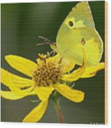 Southern Dogface Butterfly Wood Print