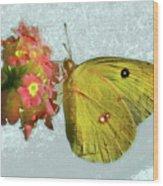 Southern Dogface Butterfly Feasting On December Lantanas Austin V2 Wood Print