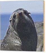 Southern Fur Seal Wood Print