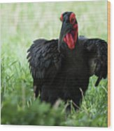 Southern Ground Hornbill Eating An Insect In Tarangire Wood Print