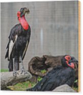 Southern Ground Hornbills Wood Print