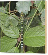 Southern Hawker Wood Print