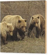 Sow Grizzly With Cubs Wood Print