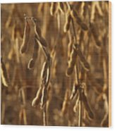 Soybean Crop In Kutztown Pa Wood Print by Anna Lisa Yoder