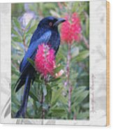 Spangled Drongo Wood Print