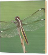 Spangled Skimmer Dragonfly Female Wood Print