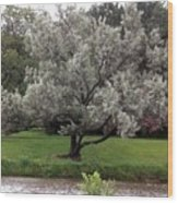 Spanish Olive Tree Wood Print