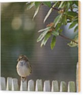 Sparrow In Colonial Williamsburg Wood Print