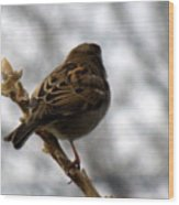 Sparrow In Springtime Wood Print