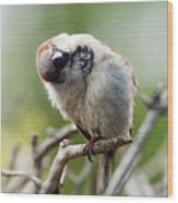 Sparrow Tilts It Head Wood Print