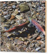 Spawning Salmon - Odell Lake Oregon Wood Print