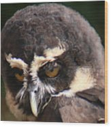 Spectacled Owl Portrait 2 Wood Print