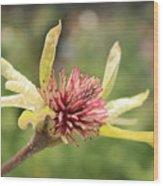 Spent Tulip Tree Blossom Wood Print