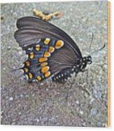 Spicebush Swallowtail Butterfly Female - Papilio Troilus Troilus Wood Print