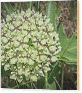 Spider Milkweed - Antelope Horns Wood Print