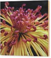 Spider Chrysanthemum Wood Print