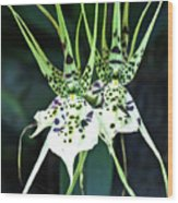 Spider Orchid Brassia Wood Print