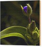 Spiderwort Bud Wood Print