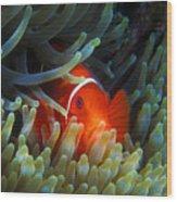 Spinecheek Anemonefish, Great Barrier Reef Wood Print