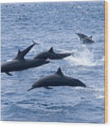 Spinner Dolphins Wood Print