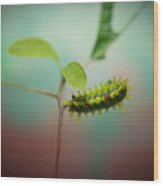 Spiny Oak Slug Moth 3 Wood Print