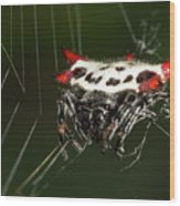 Spiny Orb Weaver Wood Print