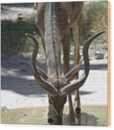 Spiral Horned Antelope Drinking Wood Print