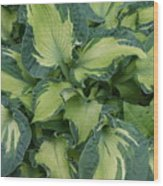 Splashy Hosta Wood Print by Lillian Davis