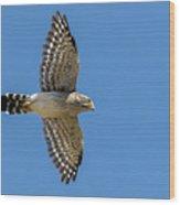 Spot-winged Falconet  In Flight Wood Print