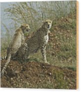 Spotted Cats Wood Print