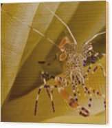 Spotted Cleaner Shrimp On Anemone Wood Print