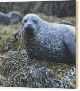 Spotted Coat Of A Harbor Seal Wood Print