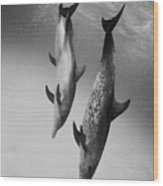 Spotted Dolphins - Bw Wood Print