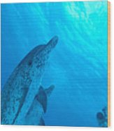 Spotted Dolphins Wood Print