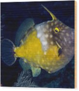 Spotted Filefish Wood Print