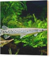 Spotted Gar Aquarium Fishes Pair Wood Print