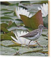 Spotted Sandpiper And Lilies Wood Print