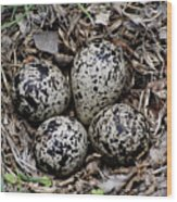 Spotted Sandpiper Nest Wood Print