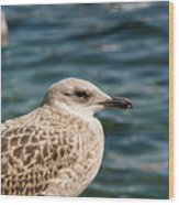 Spotted Seagull Wood Print
