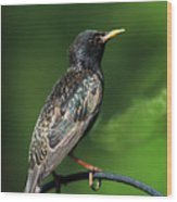 Spotted Starling Wood Print