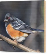 Spotted Towhee Portrait Wood Print