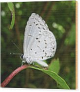 Spring Azure Butterfly Wood Print