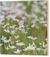 Spring Beauties Wood Print