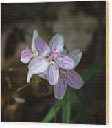 Spring Beauty Macro Wood Print