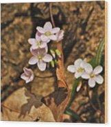 Spring Beauty Wood Print
